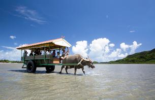 由布島と西表島の間を行き交う水牛車の写真素材 [FYI03015024]