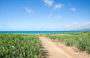 小浜島のサトウキビ畑の写真素材 [FYI03015156]