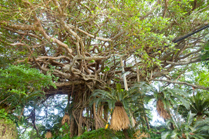 精霊が宿ると言われる樹齢約300年のガジュマルの木の写真素材 [FYI03015364]