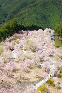 桜が満開の高見の郷の写真素材 [FYI03015524]