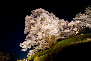 佛隆寺の千年桜のライトアップの写真素材 [FYI03015532]