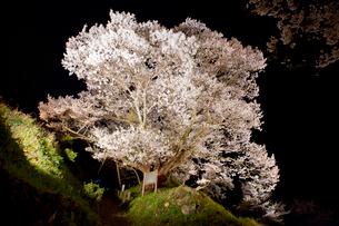 佛隆寺の千年桜のライトアップの写真素材 [FYI03015536]