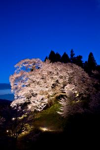 佛隆寺の千年桜のライトアップの写真素材 [FYI03015538]