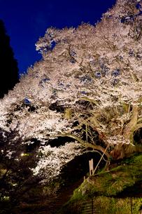 佛隆寺の千年桜のライトアップの写真素材 [FYI03015540]
