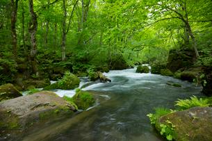新緑が匂い立つ奥入瀬渓流 阿修羅の流れの写真素材 [FYI03015733]