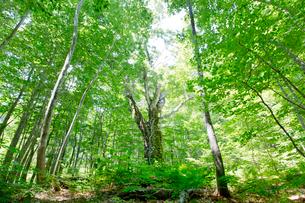 白神山地の岳岱自然観察教育林にある巨大なブナの写真素材 [FYI03015881]