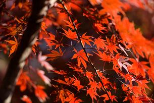 新宿御苑の紅葉と陰の写真素材 [FYI03017612]