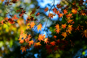 新宿御苑の紅葉と陰影の写真素材 [FYI03017618]
