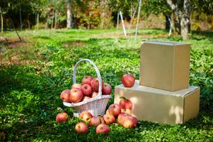 リンゴの写真素材 [FYI03017838]