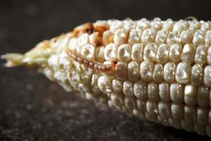 虫食いトウモロコシの写真素材 [FYI03017853]