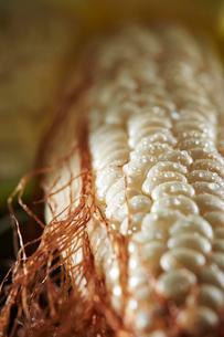 トウモロコシの写真素材 [FYI03017928]