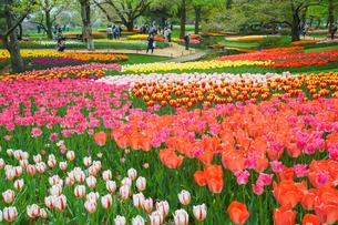チューリップの咲く風景の写真素材 [FYI03018216]
