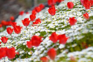 チューリップとノースポールの花の写真素材 [FYI03018229]