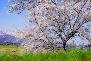 千曲川桜堤の写真素材 [FYI03018241]