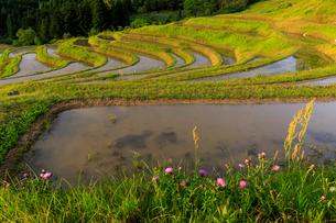 春の大山千枚田の写真素材 [FYI03018447]