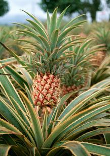 パイナップル畑の写真素材 [FYI03025143]