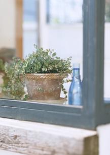 オオイタビの鉢植えの写真素材 [FYI03028063]