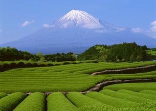 茶畑と富士山の写真素材 [FYI03028495]