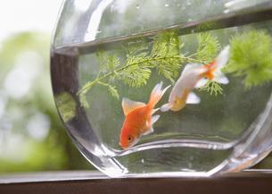 金魚鉢のキンギョの写真素材 [FYI03030274]