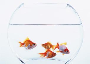 金魚の写真素材 [FYI03031038]