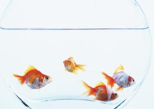 金魚の写真素材 [FYI03031039]