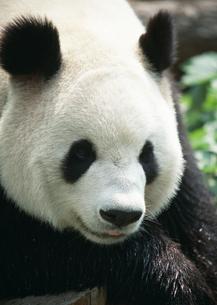 ジャイアントパンダの写真素材 [FYI03034583]