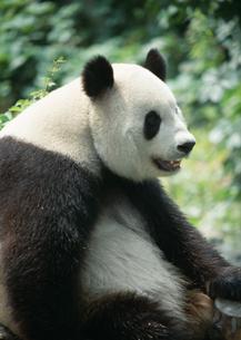 ジャイアントパンダの写真素材 [FYI03034584]