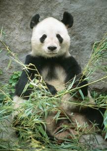 ジャイアントパンダの写真素材 [FYI03034585]