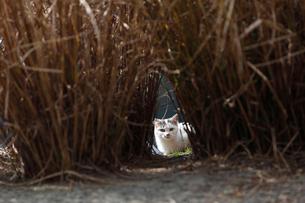 草むらの中から顔を出した野良猫の写真素材 [FYI03035120]