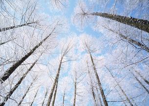 カラマツ林の樹氷の写真素材 [FYI03039997]