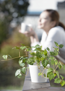 グレープアイビーの鉢植えの写真素材 [FYI03040021]