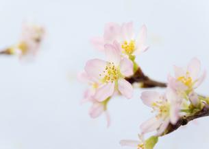 桜の花の写真素材 [FYI03043611]
