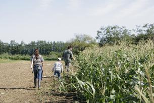 トウモロコシ畑の親子の写真素材 [FYI03049640]