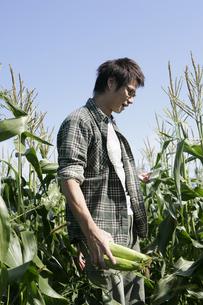 スイートコーンの収穫をする男性の写真素材 [FYI03049649]