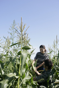 スイートコーンの収穫をする男女の写真素材 [FYI03049658]