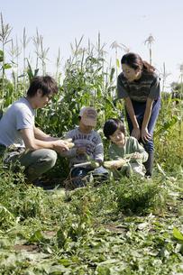 トウモロコシ畑の親子の写真素材 [FYI03049670]