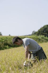 稲の収穫をする男性の写真素材 [FYI03049697]