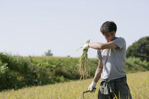 稲の収穫をする男性の写真素材 [FYI03049698]