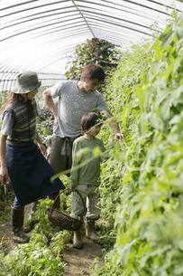 オーガニックのゴーヤの収穫をする親子の写真素材 [FYI03049717]