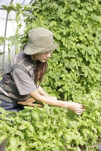 オーガニックのバジルの収穫をする女性の写真素材 [FYI03049730]