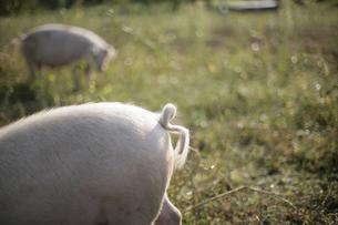 ブタの放牧の写真素材 [FYI03049808]