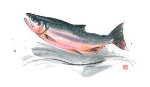 鮭のイラスト素材 [FYI03052298]