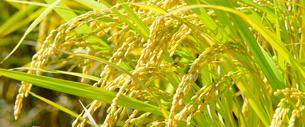 田んぼの稲の写真素材 [FYI03053134]