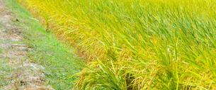 田んぼの稲の写真素材 [FYI03053135]