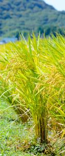 田んぼの稲の写真素材 [FYI03053137]