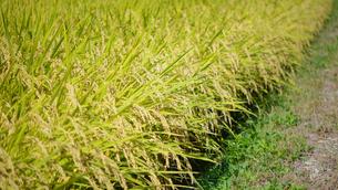 稲の写真素材 [FYI03053141]