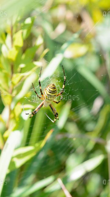 クモの写真素材 [FYI03053149]