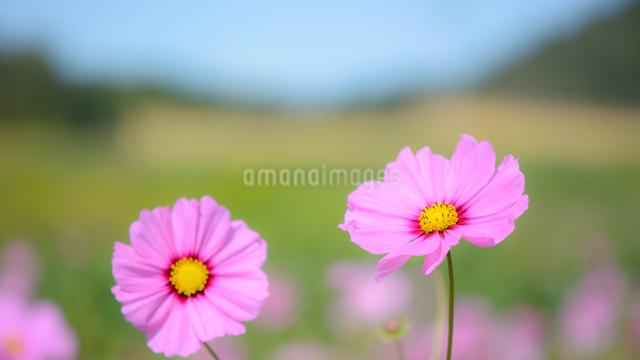 秋桜の写真素材 [FYI03053151]