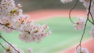 桜とテニスコートの写真素材 [FYI03053166]
