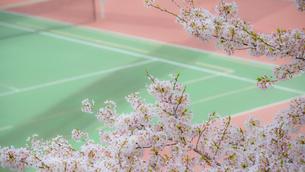 桜とテニスコートの写真素材 [FYI03053168]
